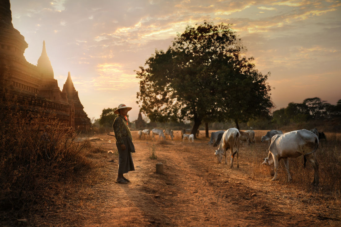 Bagan Cattle Herder