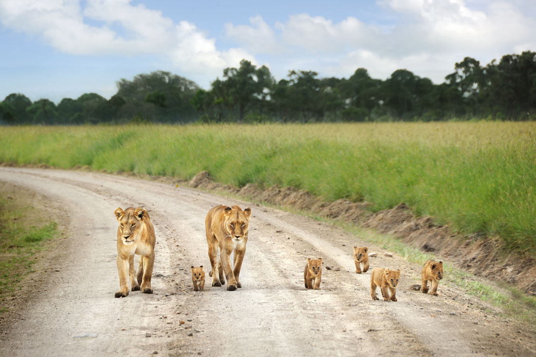 Lion Family