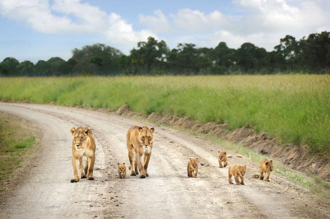 Leones en el camino