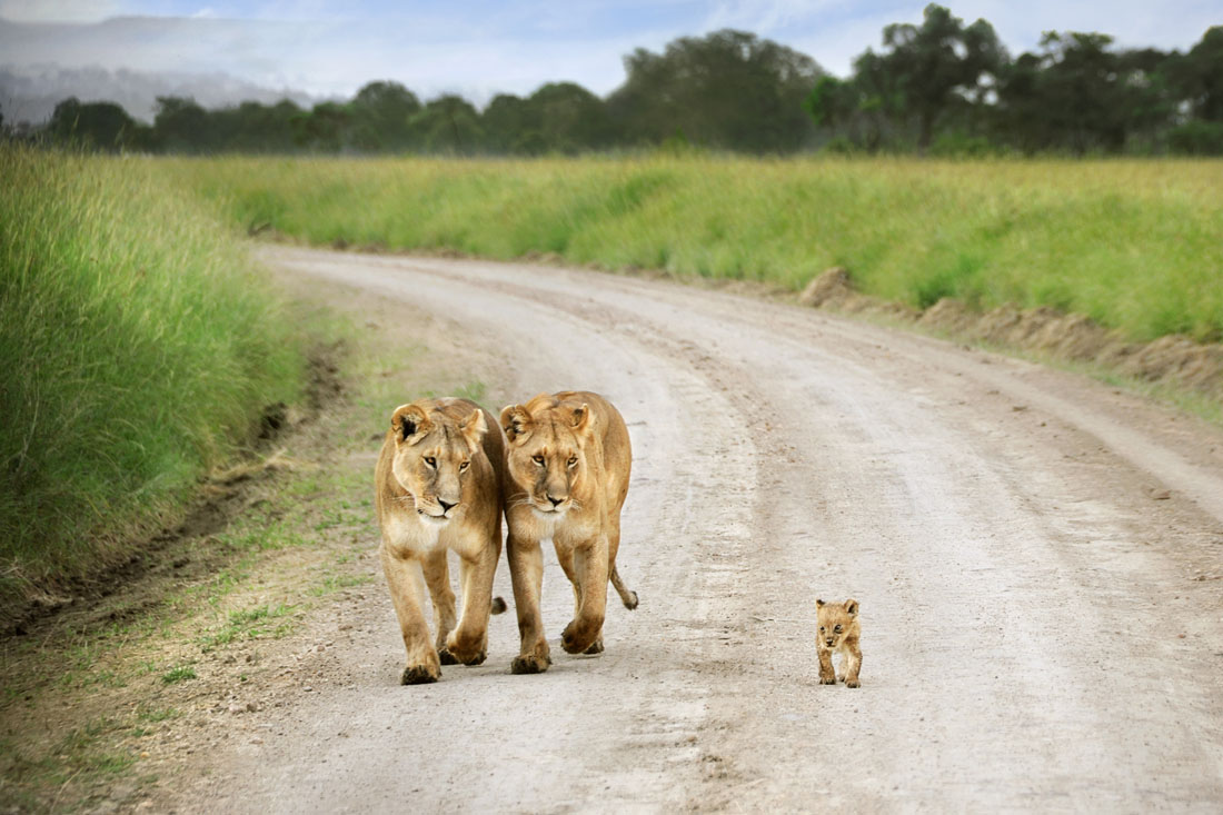 Tiny Lion Cub