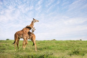 Giraffe Embrace
