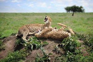 Laughing Cheetahs
