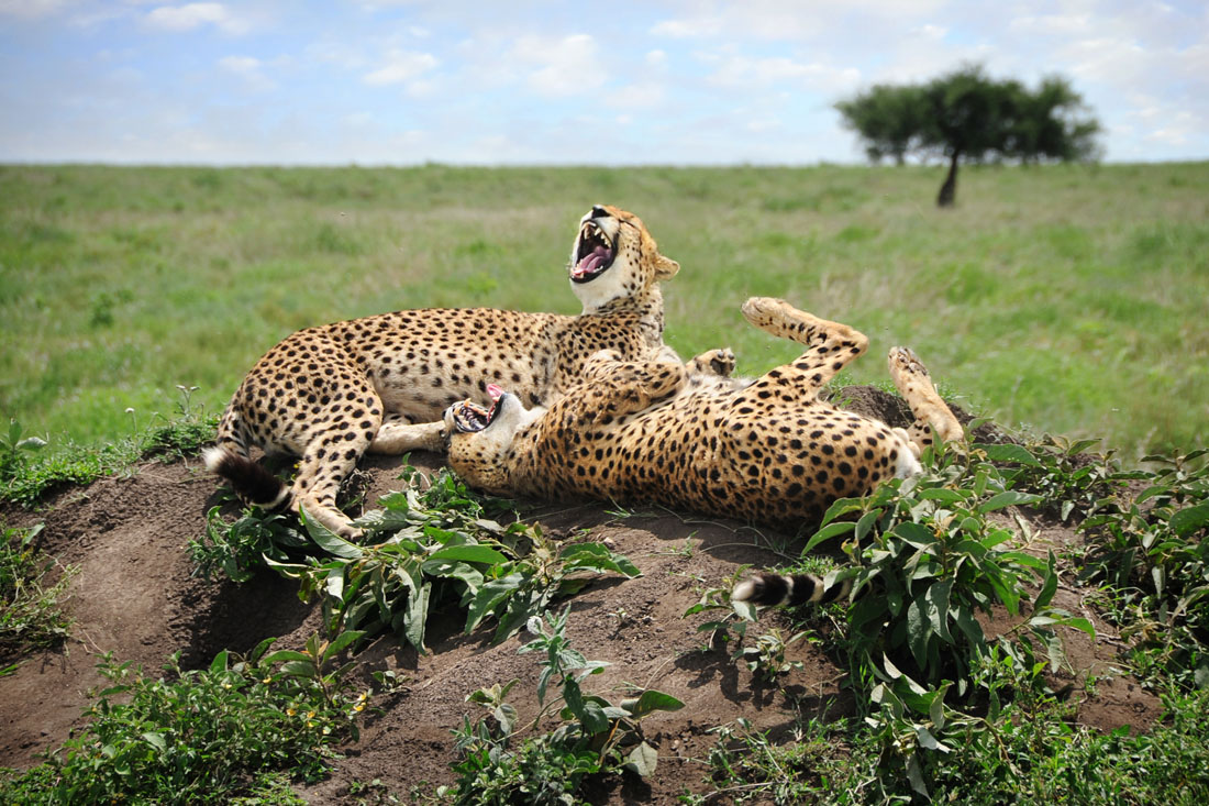 laughing cheetah - photo #2