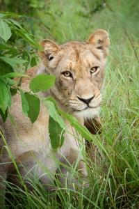 Lioness Portrait
