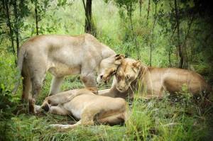 Lions Nuzzle