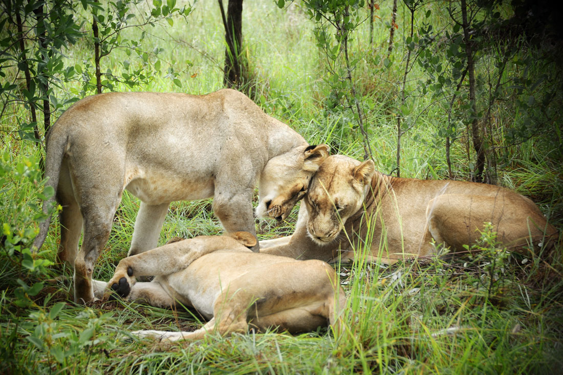 Lions Nuzzle