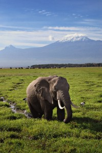 Elephant and Mt Kilimanjaro