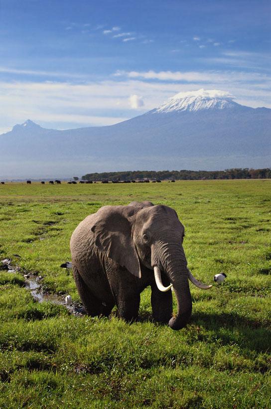 Elephant and Mt Kilimanjaro