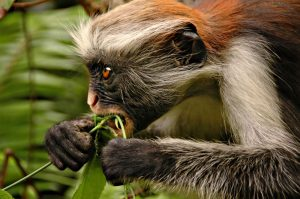 Red Colobus Monkey Eating