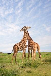 Giraffe Embrace 2