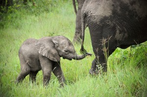 Baby Elephant Walk