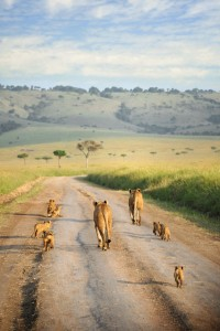 Lion Family Walks Away