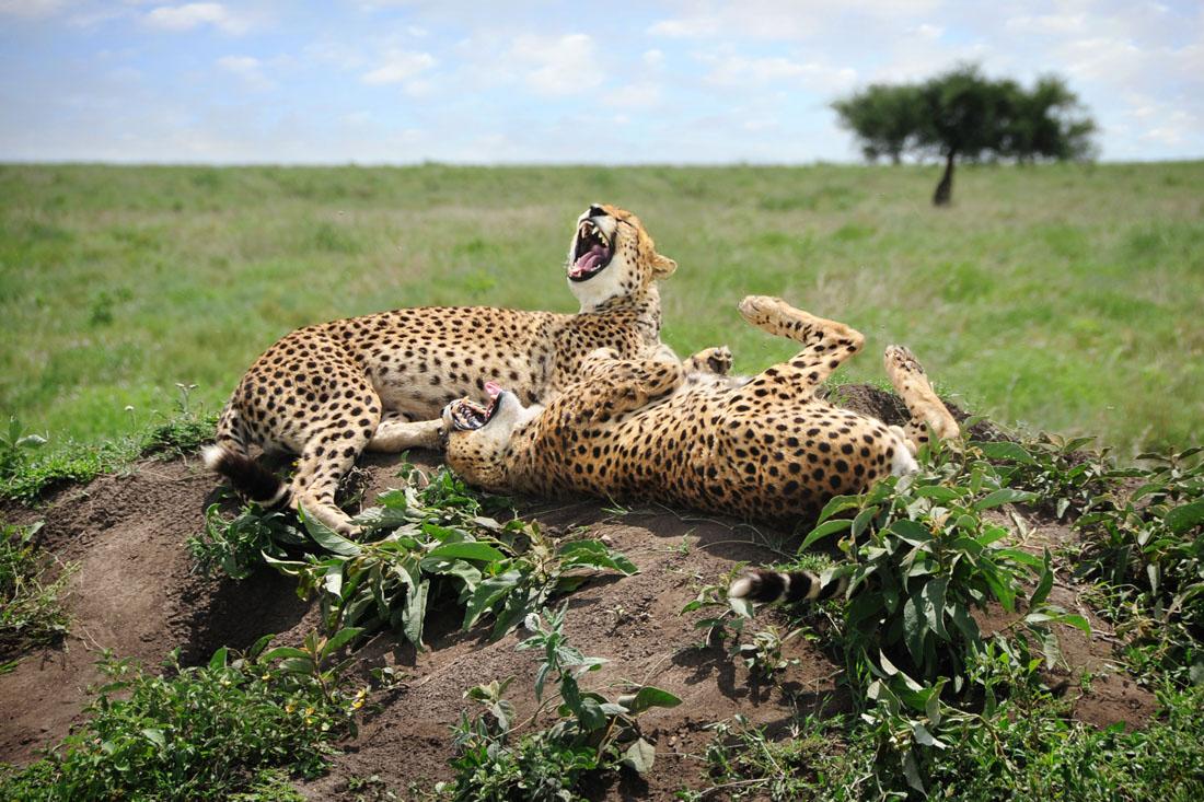 Laughing Cheetahs