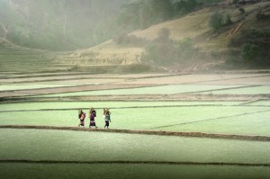 Carrying Wood Through the Rice Fields