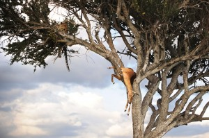 Leopard and Impala Up a Tree