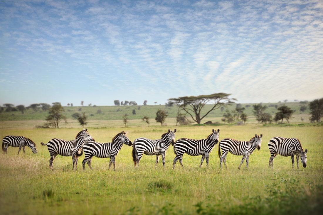 zebra stripes   david lazar
