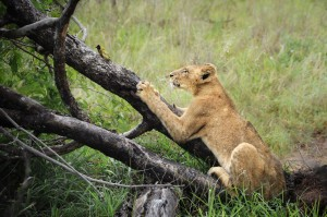 Lioness and Bird